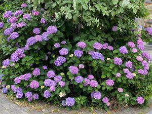 紫色のあじさい 東京都中野区 社労士 人事労務管理